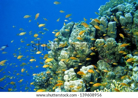 Anthias at tropical Coral Reef, Red Sea, Egypt - stock photo