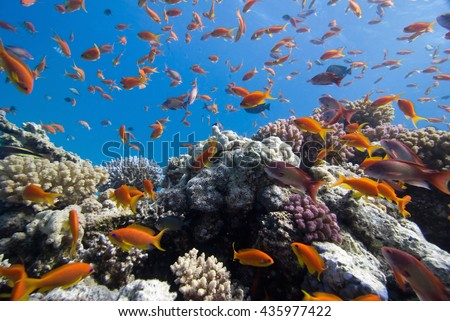 Anthias on the coral reef, wide angle shot