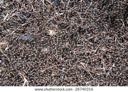 Anthill Forest and its inhabitants ants - stock photo