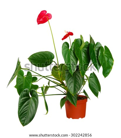 Anthurium flower in flowerpot isolated on white - stock photo