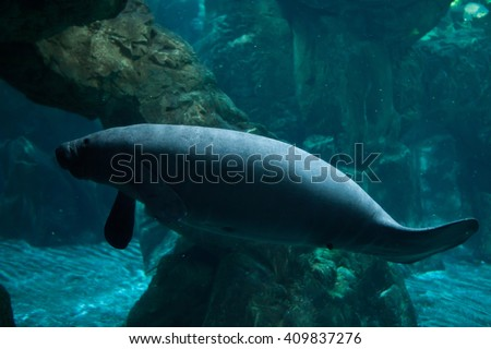 Antillean manatee (Trichechus manatus manatus). Wild life animal.  - stock photo