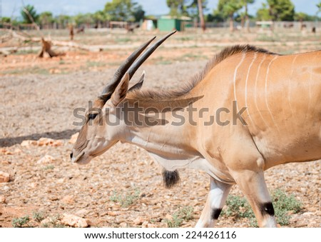 Antilope walking in national park.