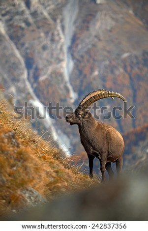 Antler Alpine Ibex, Capra ibex ibex, with autumn orange larch tree and rocks in background, National Park Gran Paradiso, Italy - stock photo