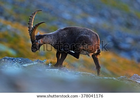 Antler Alpine Ibex, Capra ibex, scratching animal with coloured rocks in background, animal in the nature habitat, France - stock photo
