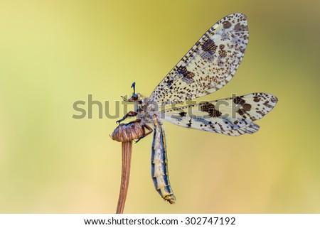antlion - Palpares libelluloides - stock photo
