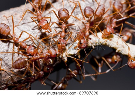 Ants and victim worm in macro mode - stock photo