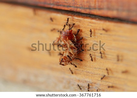 Ants are a harmonious helped transport the remains of dead cockroaches. - stock photo