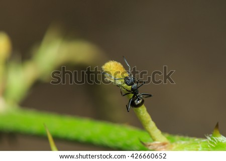 Ants, black ants, animal, insect, nature. - stock photo