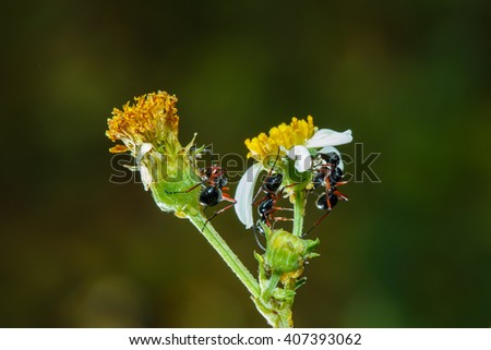 Ants,  black ants , insects, nature,macro - stock photo