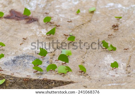 Ants carrying leaves in jungle, Bolivia - stock photo