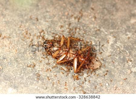 Ants eat the dead cockroach on the floor. - stock photo