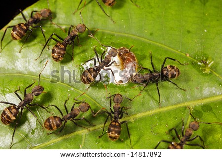 Ants feeding on a bird dropping in the Ecuadorian Amazon - stock photo