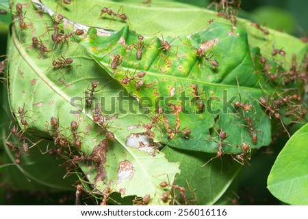 Ants' nest made by joining together green leaves of a tree - stock photo
