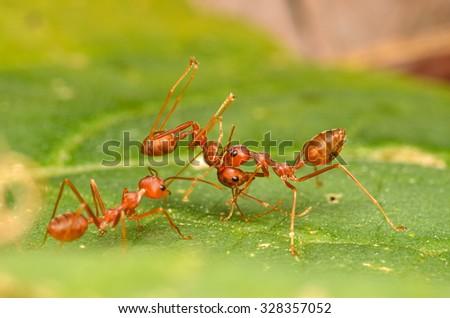 Ants, Red Ants. - stock photo