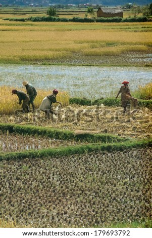 ANTSIRABE, MADAGASCAR - MAY 6: Unidentified farmers planting rice in the field on May 2004, 6 in the highlands of Madagascar - stock photo