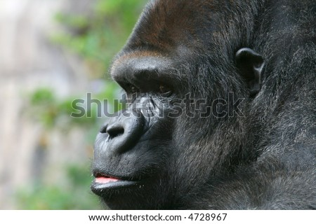 anxious looking male gorilla face close up - stock photo