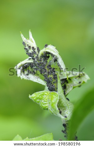 Aphids on a plant in the garden. - stock photo