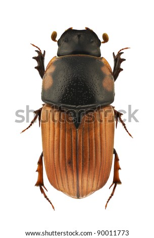 Aphodius scrutator, dung beetle, isolated on a white background - stock photo