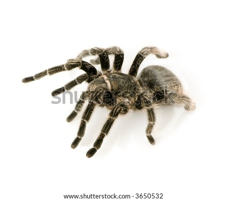 Aphonopelma seemanni in front of a white backgroung