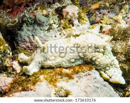 Aplysia dactylomela (Sea hare) - stock photo