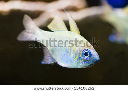 Apogon leptacanthus - close up to head of saltwater fish
