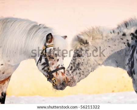 appa;oosa ponies stallion and mare kissing