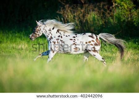 Appaloosa horse running in field - stock photo