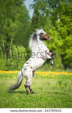 Appaloosa stallion rearing up on the meadow in summer time   - stock photo