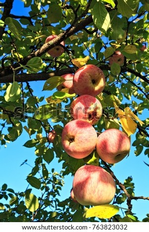 Appetizing branch with ripe apples on a blue sky background