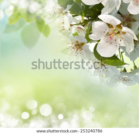 apple blossom close-up. White flowers  - stock photo