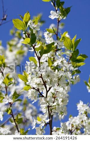 Apple blossom in spring - stock photo