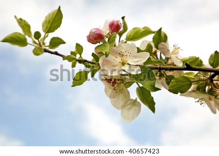 Apple blossom in the spring - stock photo