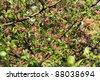 Apple blossom (Malus domestica) - stock photo