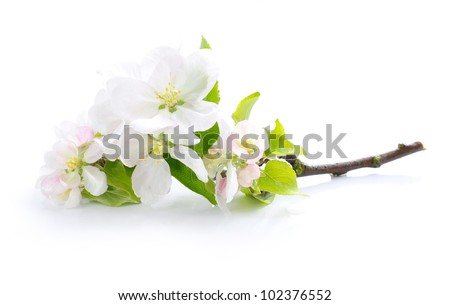 Apple blossom on a white background - stock photo