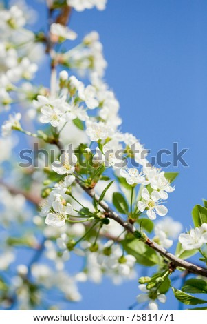 apple blossoms in spring over the blue sky - stock photo