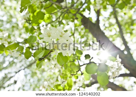 apple blossoms on a background of green garden closeup shot - stock photo