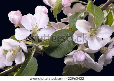 Apple blossoms on a dark-violet background