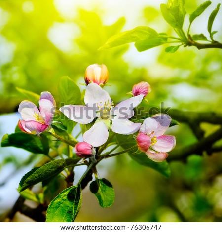 apple branch on sunny sky - stock photo