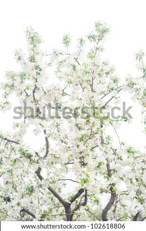 Apple branches with flowers isolated on white background - stock photo