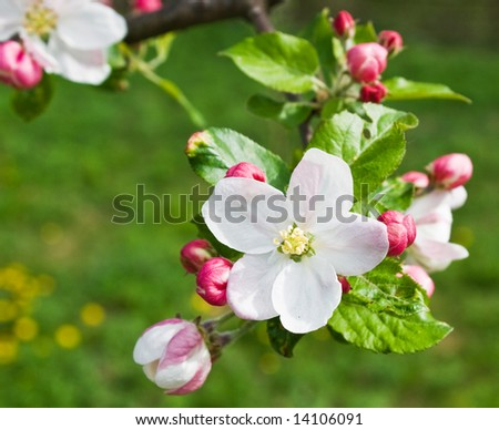 apple flower - stock photo