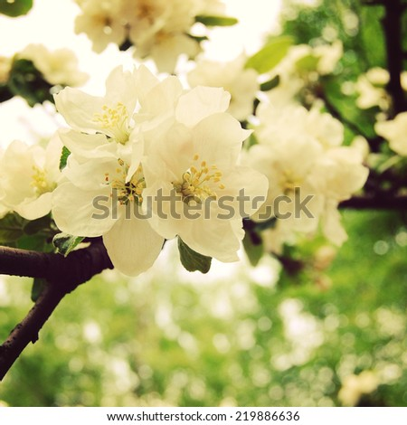 Apple flowers in bloom - toned effect. Apple Blossom Time. Blossoming apple flowers in spring - retro filter. Blossom apple tree - vintage effect. - stock photo