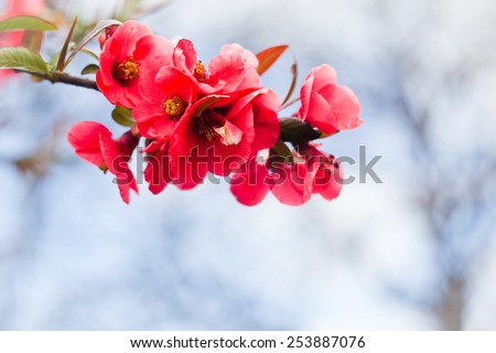 Apple flowers,Spring blossom  - stock photo