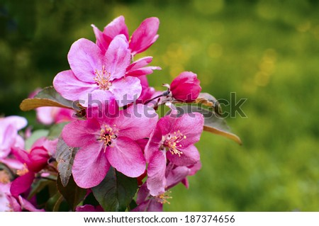 Apple flowers, Spring blossom on green with copy space.