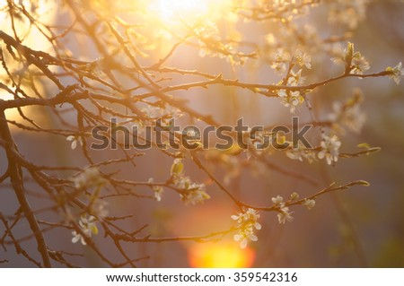 apple flowers. spring flowers. Soft image of a blossoming tree - stock photo