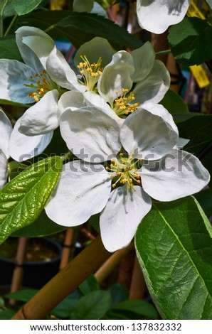 Apple flowers with green leaves and brown branch macro