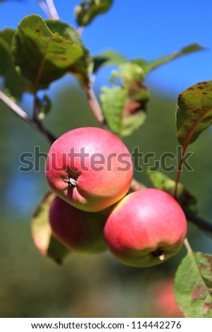 apple growing on the tree. Red and green apples. Natural products - stock photo