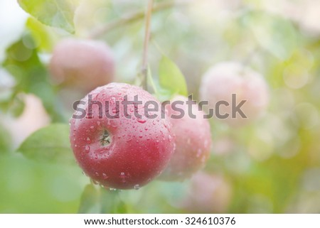 Apple growing on tree after rain, in the sunshine. Organic fruits. - stock photo