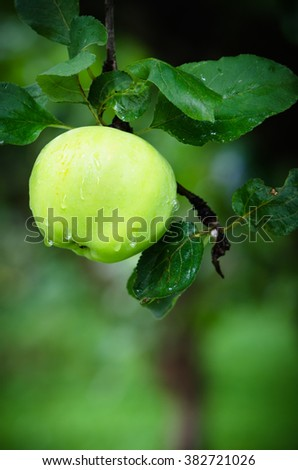 Apple in the garden with raindrops - stock photo
