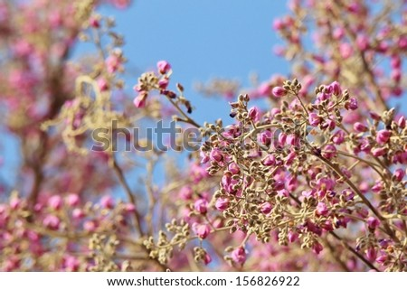 Apple Leaf Blossoms - Wild Flower Background from Africa - Mother Nature and her Pink and Blue wonder of Beauty - stock photo