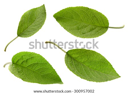 Apple leaf set isolated on white background - stock photo